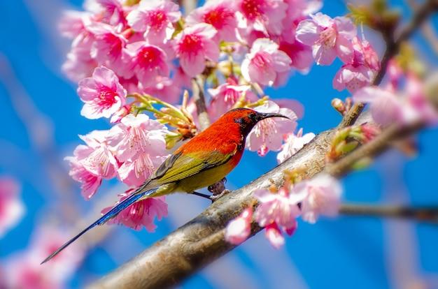 Rode vogel blauwe achtergrond neergestreken op de takken sakura Premium Foto