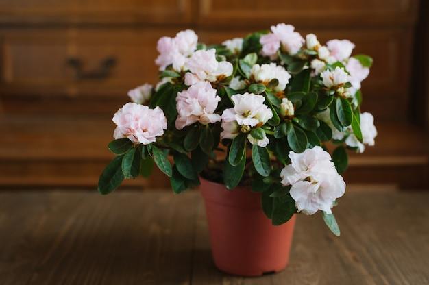 Rododendronbloemen in een pot Premium Foto