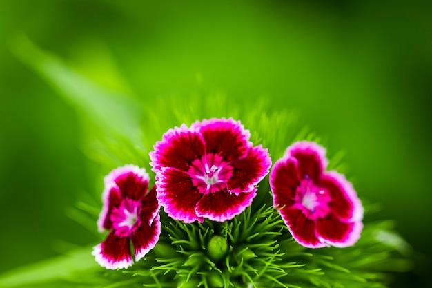 Romantische roze pioenrozen in lentetuin. Premium Foto