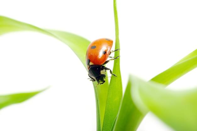 Rood lieveheersbeestje op groen geïsoleerd gras Premium Foto
