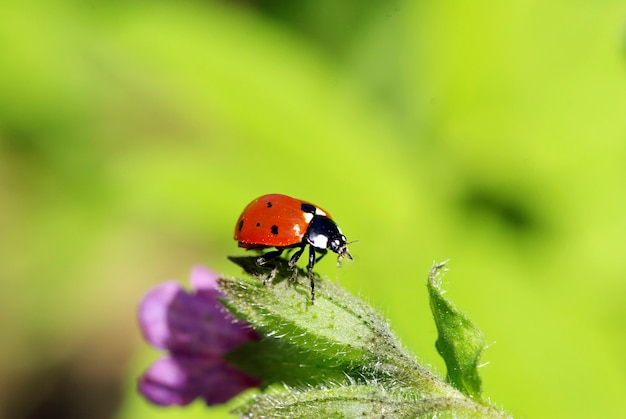 Rood lieveheersbeestje op groen gras dat op groen wordt geïsoleerd Premium Foto