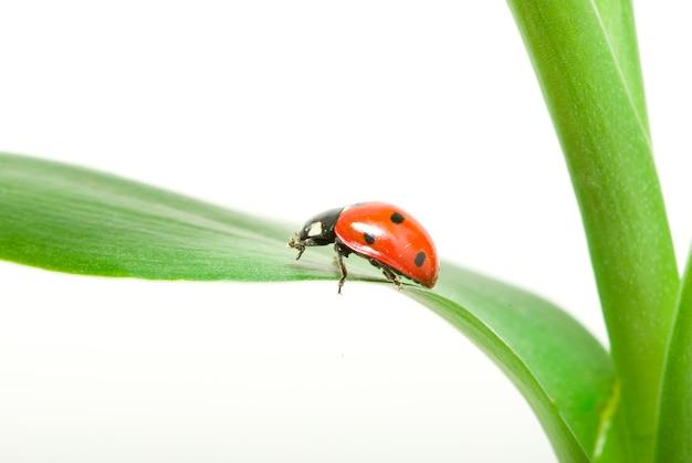 Rood lieveheersbeestje op groen gras dat op wit wordt geïsoleerd Premium Foto