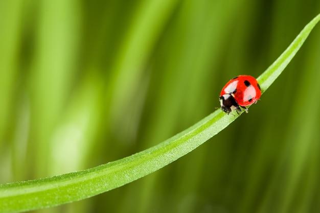 Rood lieveheersbeestje op groen gras. Premium Foto
