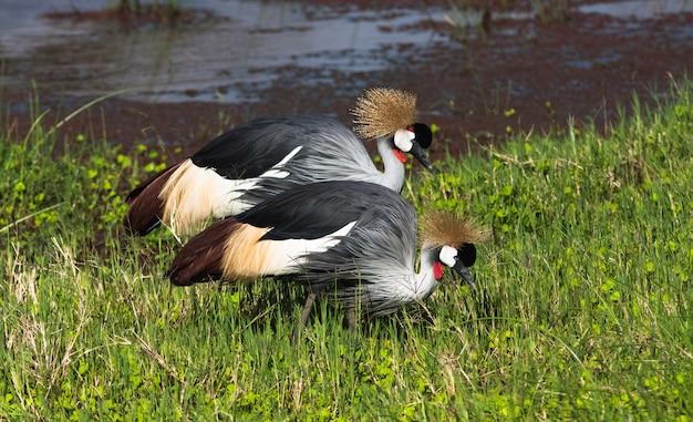 Сrowned kraan. twee vogels. samburu, kenia Premium Foto