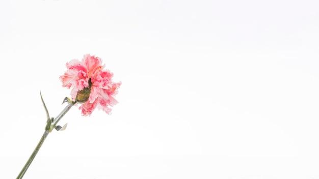 Roze anjer op witte achtergrond Gratis Foto