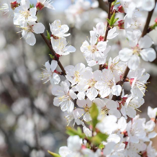 Roze appelboombloesems met witte bloemen Premium Foto