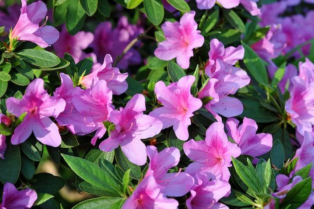 Roze azalea bloemen Premium Foto