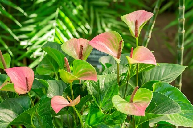 Roze bloeiende anthuriumbloemen in tropische gardem. Premium Foto