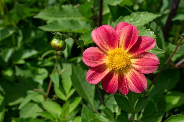 Roze bloem in de tuin Premium Foto