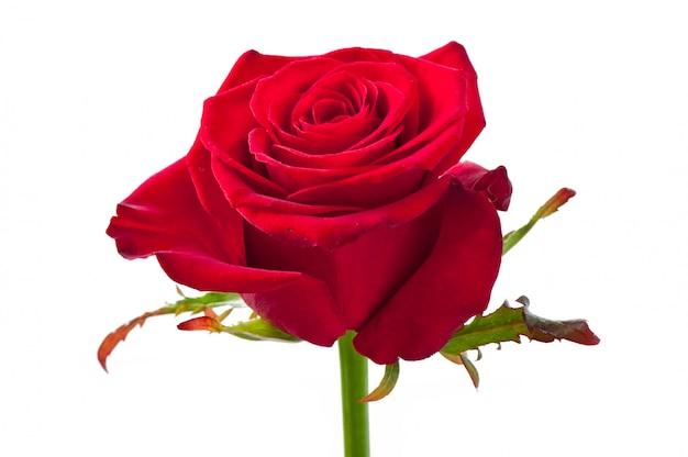 Roze bloem op geïsoleerde wit Gratis Foto