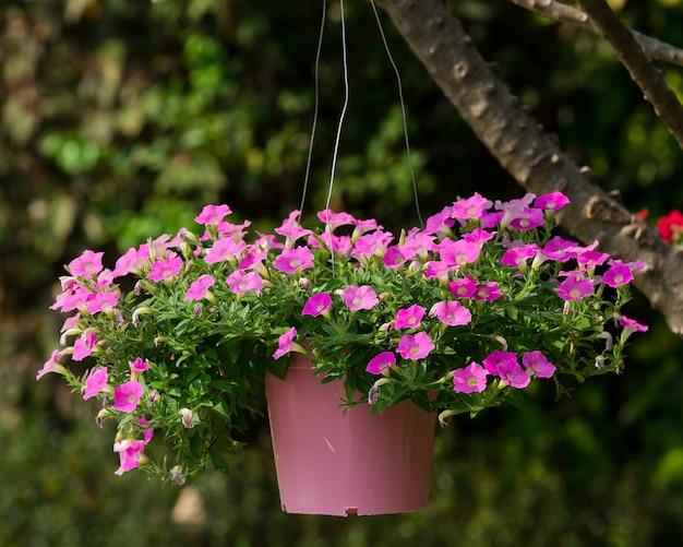 Bloemen In Pot.Roze Bloemen In Pot In De Tuin Foto Premium Download