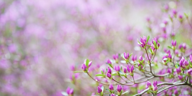 Roze bloemen van rhododendron mucronulatum. idyllisch patroon met prachtige bloeiende koreaanse rododendron voor website achtergrond of wenskaart. kopieer ruimte. banner Premium Foto