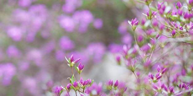 Roze bloemen van rhododendron mucronulatum. idyllisch patroon met prachtige bloeiende koreaanse rododendron voor website achtergrond of wenskaart. kopieer ruimte Premium Foto