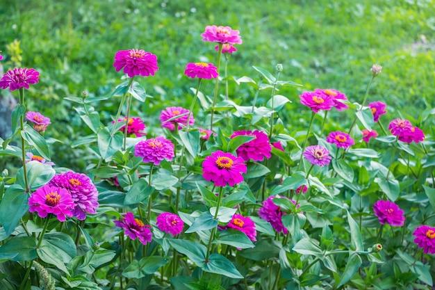 Roze bloemen zijn zinnia in de tuin op het bloembed Premium Foto