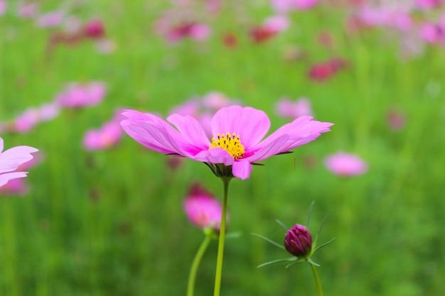 Roze bloemen. zomer achtergrond Premium Foto