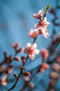 Roze bloesems mooi Gratis Foto