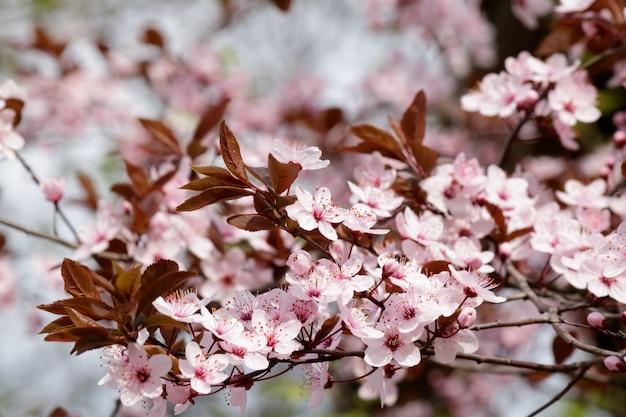 Roze kersenbloesem bloemen bloeien op een boom Gratis Foto