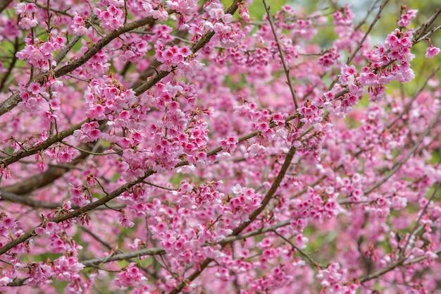 Roze kersenbloesems bloeien in het voorjaar. Gratis Foto