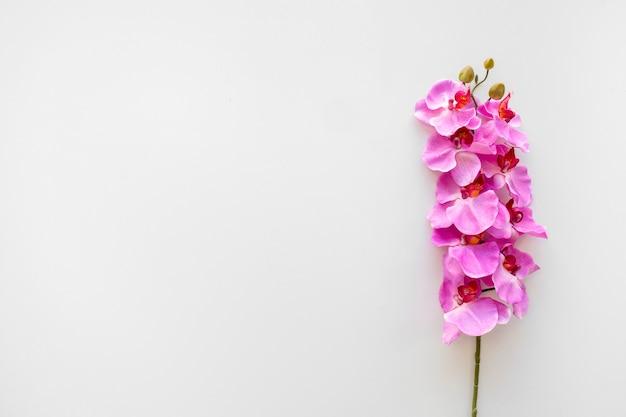 Roze orchideebloemen over witte achtergrond Gratis Foto