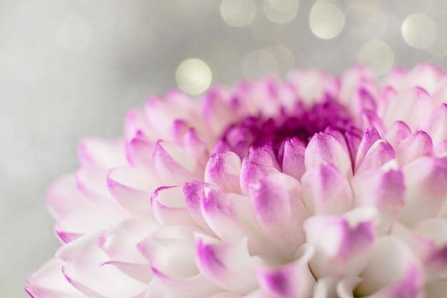 Roze-paars chrysanthemum bloem close-up op een lichte achtergrond Premium Foto