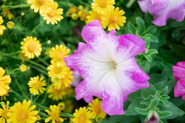 Roze petunia-bloemen en geel madeliefje in de tuin met onduidelijk beeldachtergrond Premium Foto
