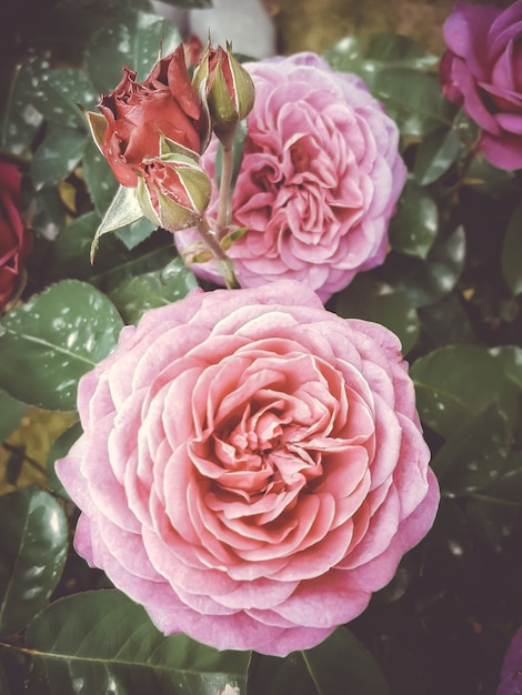 Roze rozen Premium Foto