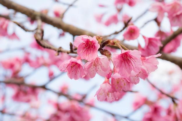 Roze sakura bloem bloeit. Gratis Foto