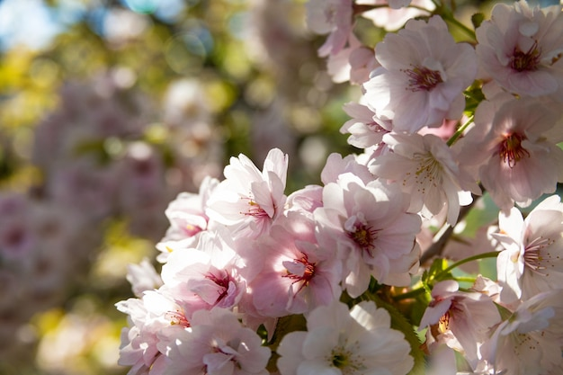Roze sakurabloem, de boom van de kersenbloesem in park. Premium Foto