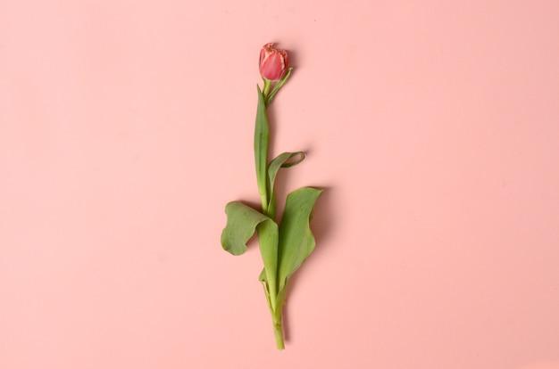 Roze tulpenbloem voor achtergrond Premium Foto