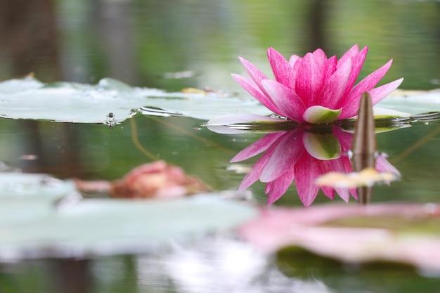 Roze waterlelie mooie kleur met wateroppervlak reflectie in de vijver Premium Foto