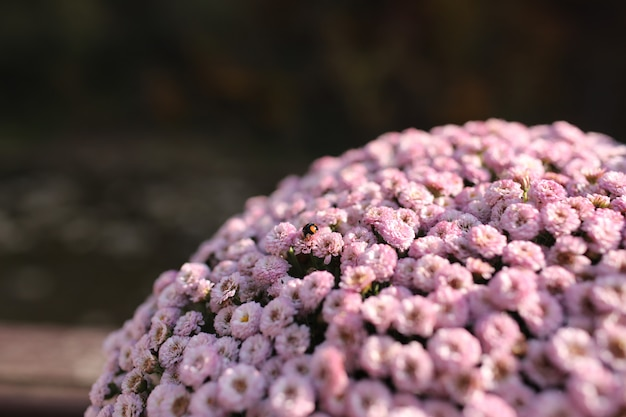 Roze winter chrysanthemum bloemen met ruimte voor tekst. tuinchrysant Premium Foto