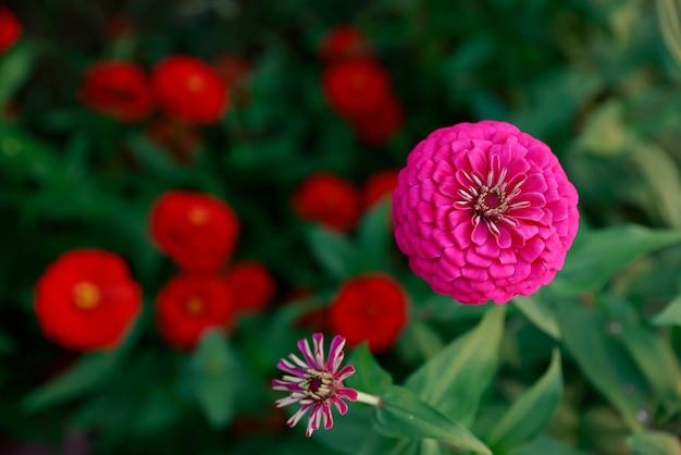 Roze zinnia-bloem in een tuin Premium Foto