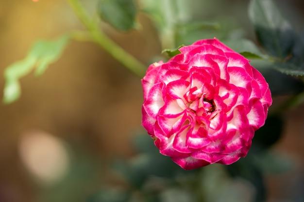 Rozen in de tuin Premium Foto