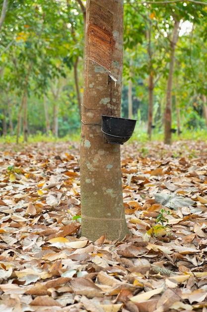 Rubberboomtuin in azië. natuurlijke latex gewonnen uit para-rubberplant. de zwarte plastic beker wordt gebruikt om de latex van de boom te meten. Premium Foto