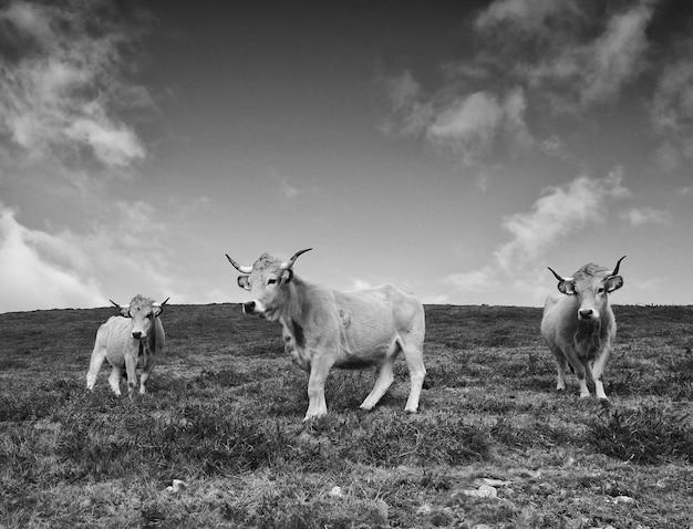 Runderen. drie koeien. zwart-wit foto Premium Foto