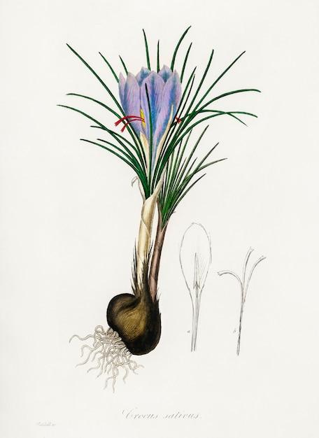 Saffraan crocus (crocus sativus) illustratie uit medische plantkunde (1836) Gratis Foto