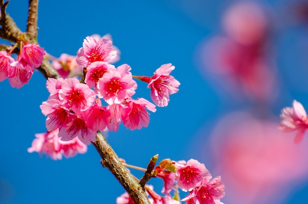Sakura blauwe achtergrond angkhang chiang mai thailand Premium Foto