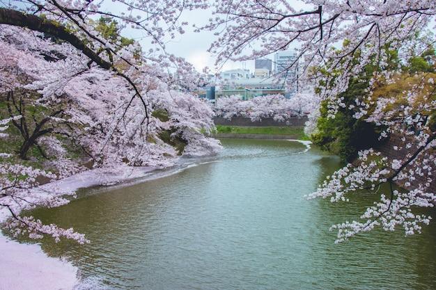 Sakura bloeit en valt in het kanaal Premium Foto