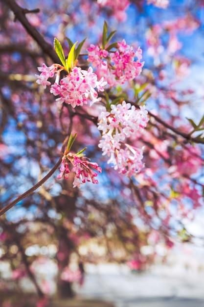 Sakura-bloem in denemarken Premium Foto