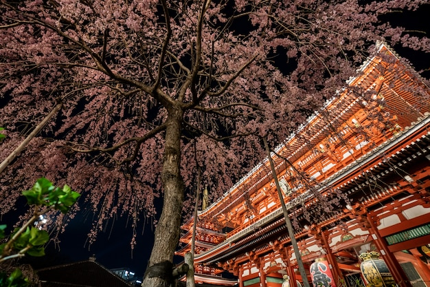 Sakura cherry blossoms bij de sensoji-tempel bij nacht in asakusa Premium Foto