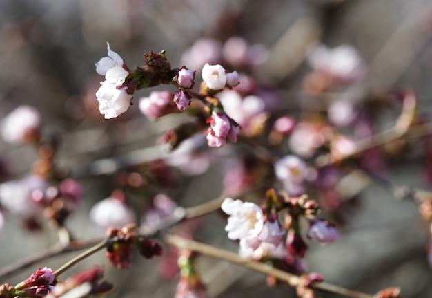 Sakura in de lentetuin. Premium Foto
