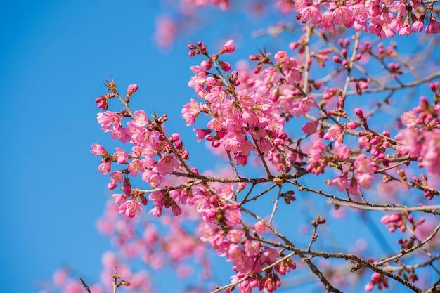 Sakura van thailand een bloem van de kersenbloesem met blauwe hemelachtergrond Premium Foto