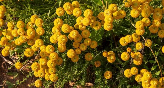 Santolina chamaecyparissus, traditionele wilde geneeskrachtige plant met gele bloemen Premium Foto