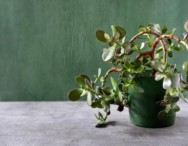Sappige kamerplant crassula in een pot Premium Foto