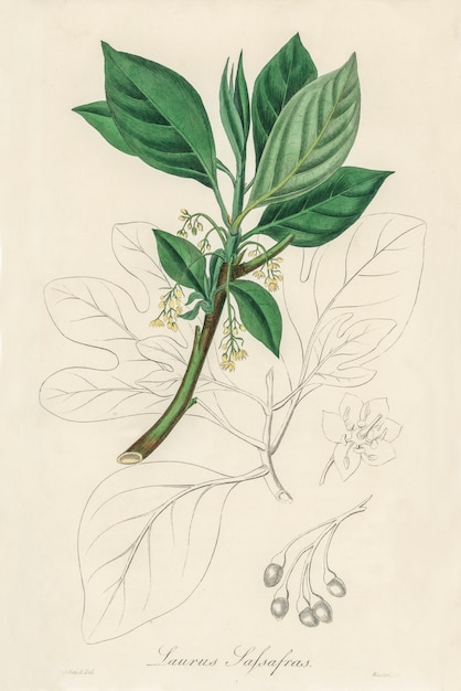 Sassafras (laurus sassafras) illustratie van medical botany (1836) Gratis Foto
