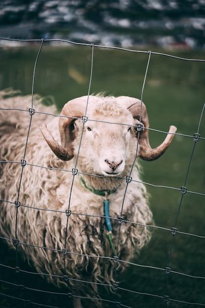 Schapen achter stalen hek op een boerderij-gebied Gratis Foto