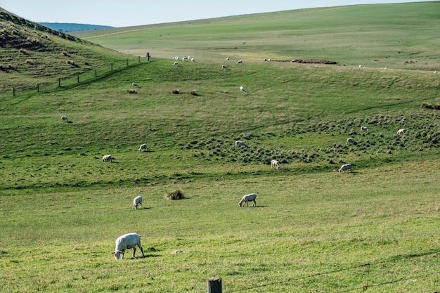 Schapen in gras veld Gratis Foto