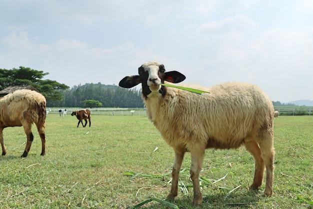 Schapen op de boerderij Premium Foto