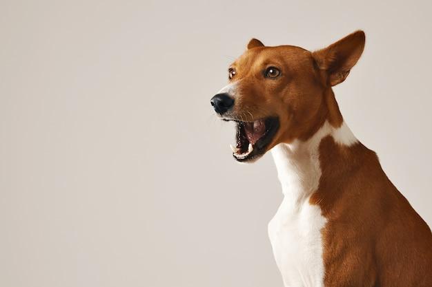 Schattige basenji hond geeuwen of praten geïsoleerd op wit Gratis Foto