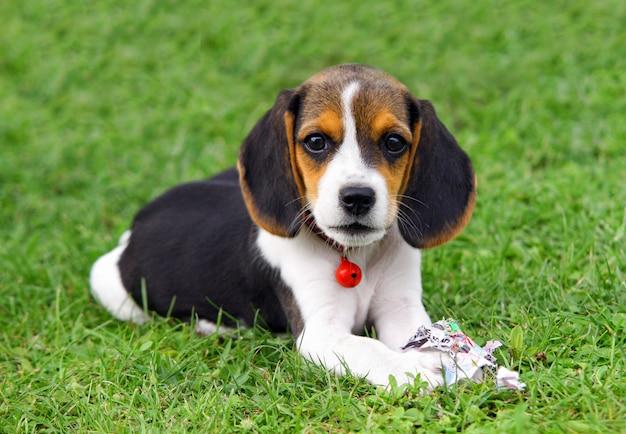 Schattige beagle pup Premium Foto